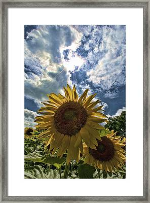 Sunflower Study 1 Framed Print by Mitchell Brown