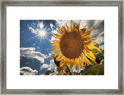Sunflower Study 2 Framed Print by Mitchell Brown