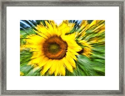 Sunflower Study 4 Framed Print by Mitchell Brown