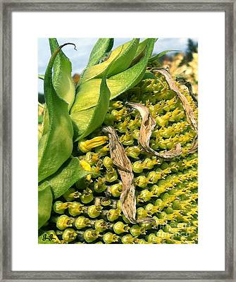 Framed Print featuring the photograph Sunflower Study by Geri Glavis