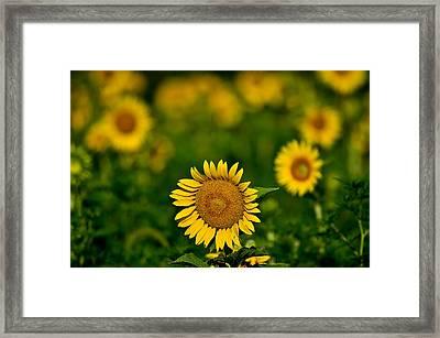 Sunflower Summer Framed Print by Christopher L Nelson