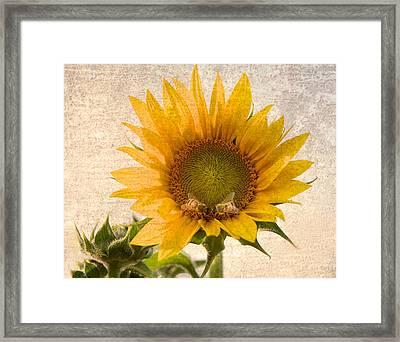 Sunflower - Sun Kiss Framed Print by John Hamlon