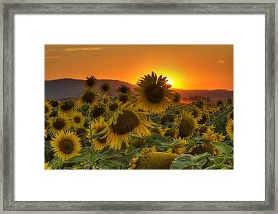 Sunflower Sun Rays Framed Print by Mark Kiver