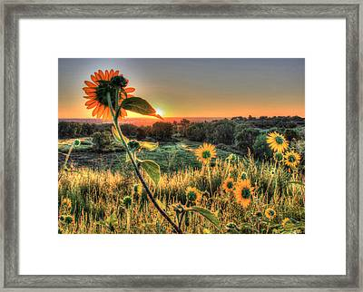 Sunflower Sunrise 1 Framed Print by Diane Alexander