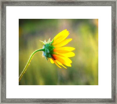 Sunflower Sunrise 6 Framed Print by Diane Alexander