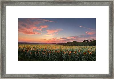Sunflower Sunset Framed Print by Bill Wakeley