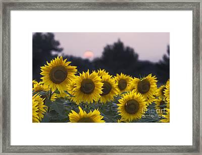 Sunflower Sunset - D008554 Framed Print by Daniel Dempster