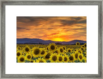 Sunflower Sunset Framed Print by Mark Kiver