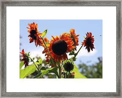 Sunflower Symphony Framed Print