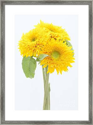Sunflower Trio Framed Print by Anne Gilbert