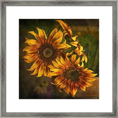 Sunflower Trio Framed Print by Priscilla Burgers