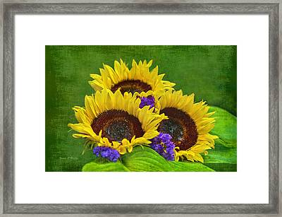 Sunflower Trio Framed Print