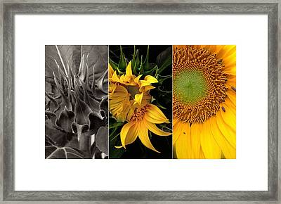 Sunflower-triptych Framed Print