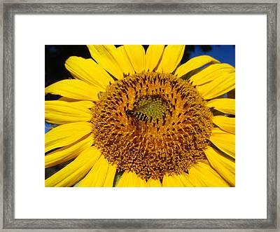 Sunflower Visitor Series 1 Framed Print