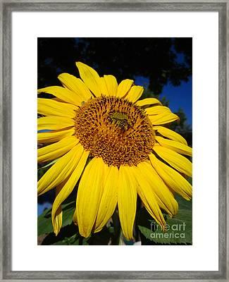 Sunflower Visitor Series 3 Framed Print