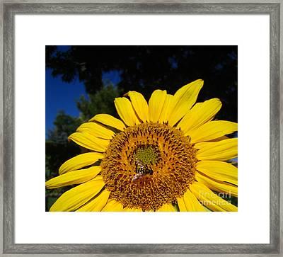Sunflower Visitor Series 4 Framed Print