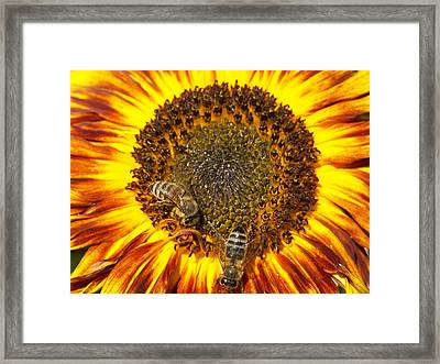 Sunflower With Bees Framed Print