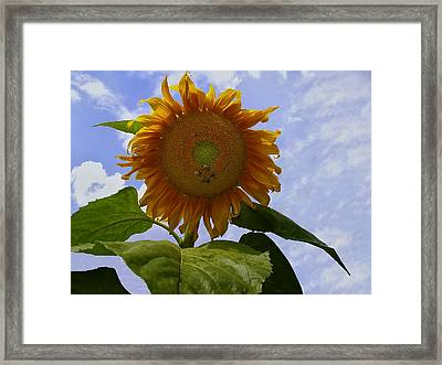 Sunflower With Busy Bees Framed Print by Chris Flees
