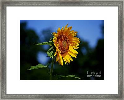 Sunflower With Honeybee Framed Print by Catherine Sherman