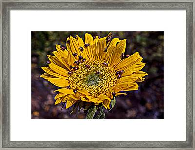 Sunflower With Ladybugs Framed Print by Garry Gay