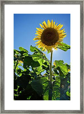 Sunflower With Sun Framed Print
