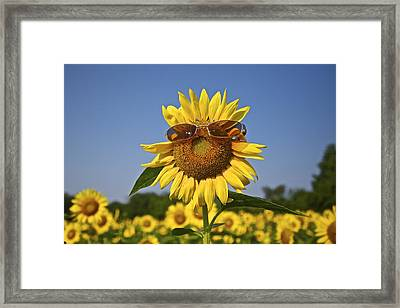 Sunflower With Sunglasses Framed Print