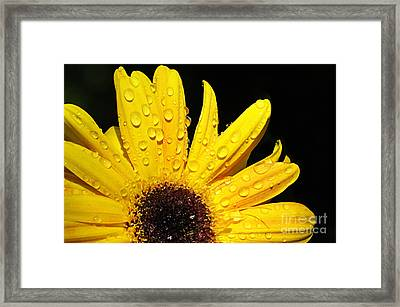 Sunflower With Water Drops Framed Print by Larry Ricker