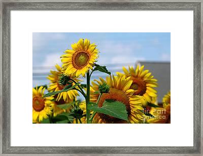 Sunflowers 1 2013 Framed Print by Edward Sobuta