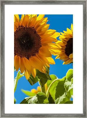 Sunflowers 2 Framed Print by Dasmin Niriella