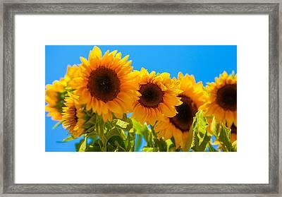 Sunflowers 3 Framed Print by Dasmin Niriella