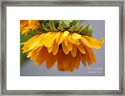 Sunflowers 6 Framed Print by Carol Lynch