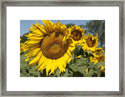 Framed Print featuring the photograph Sunflowers Aglow by Phyllis Peterson
