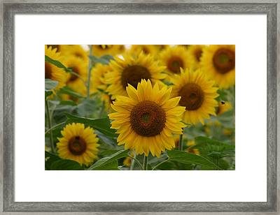 Sunflowers At The Farm Framed Print