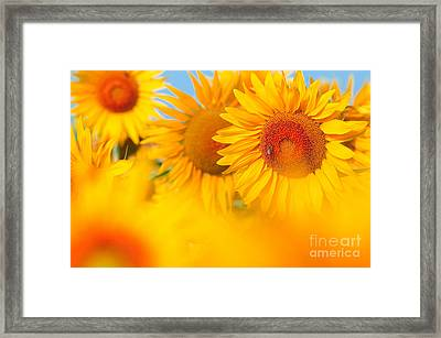 Sunflowers Framed Print by Boon Mee