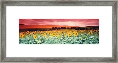 Sunflowers, Corbada, Spain Framed Print by Panoramic Images