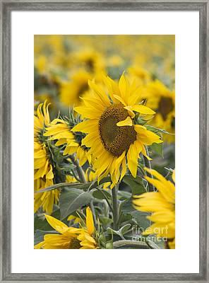 Sunflowers - D008561 Framed Print by Daniel Dempster