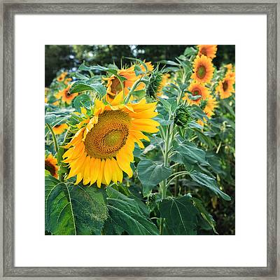 Sunflowers For Wishes Framed Print by Bill Wakeley