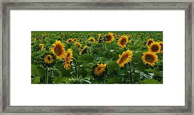 Sunflowers Galore Framed Print by Bruce Bley