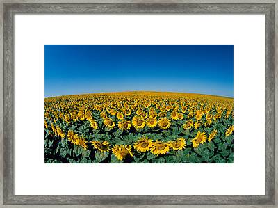 Sunflowers Helianthus Annuus In A Field Framed Print by Panoramic Images