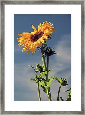 Sunflowers, Hood River, Oregon, Usa Framed Print by Michel Hersen
