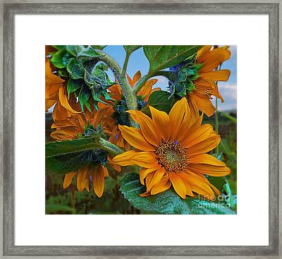 Sunflowers In A Bunch Framed Print
