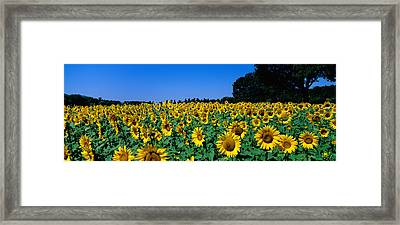 Sunflowers In A Field, Provence, France Framed Print by Panoramic Images