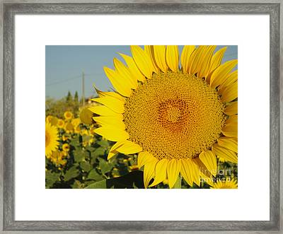Sunflowers In Arezzo Framed Print