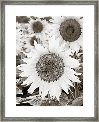Sunflowers In Back And White Framed Print