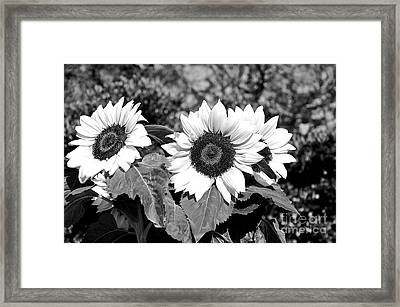Sunflowers In Black And White Framed Print by Kaye Menner