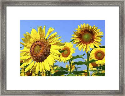 Sunflowers In Field Framed Print by Elena Elisseeva