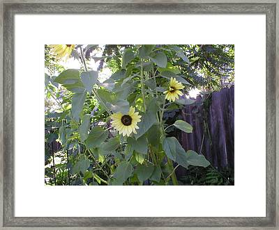 Sunflowers In Garden Framed Print by Mike Friedman
