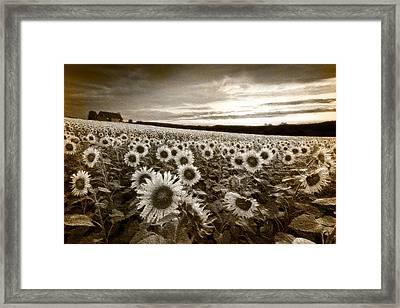 Sunflowers In Sepia Framed Print by Debra and Dave Vanderlaan