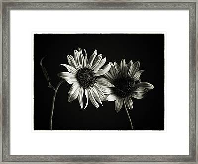Sunflowers In Soft Light Framed Print by Jesse Castellano