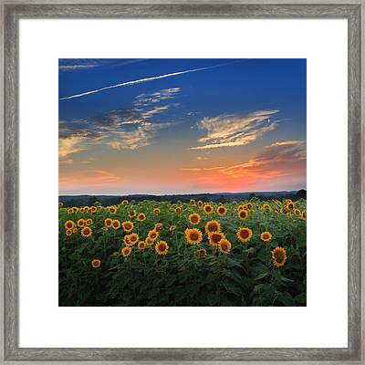 Sunflowers In The Evening Framed Print
